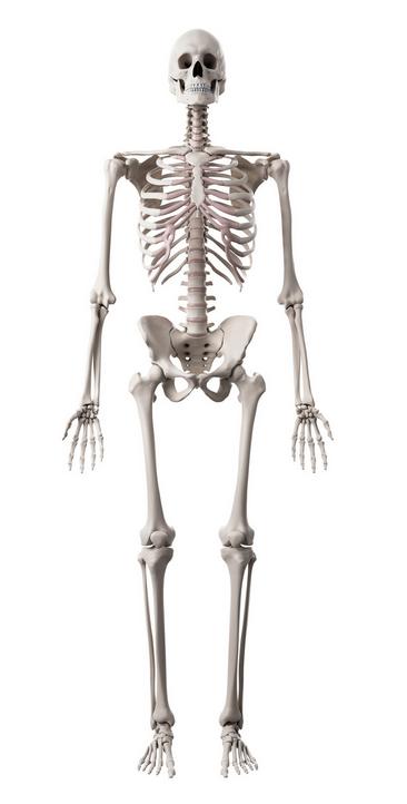 Human skeleton in standing